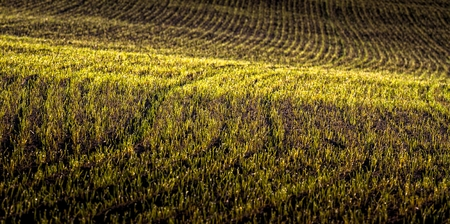 Agricultural field with young plants on morning very shallow depth of field Stock Photo