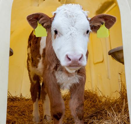Portrait of cute healthy little calf