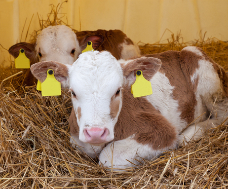 Two cute healthy little calf lying on straw in barn Stock Photo