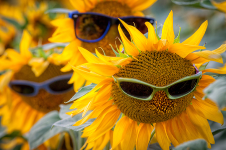 Three sunflowers with sunglasses in the field