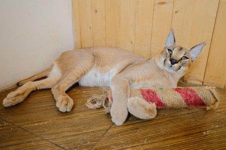 big cat: Caracal the big cat Stock Photo