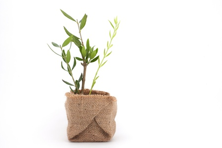 whote: Olive plant with branches packed ready to plant, in studio, on whote background