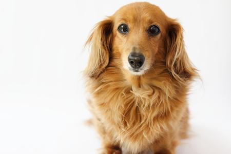 dachshund Reklamní fotografie - 78593190