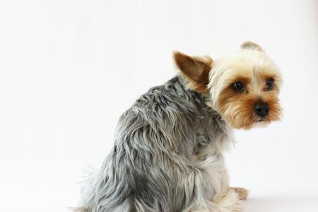 Yorkshire Terrier Stock Photo - 79133294