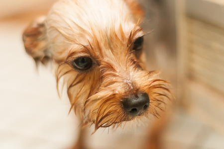 wash: Yorkshire Terrier taking a shower