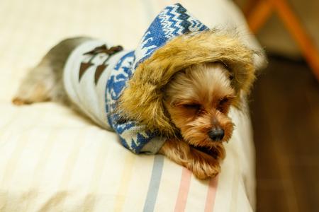 Yorkshire Terrier wearing Overcoat Banco de Imagens