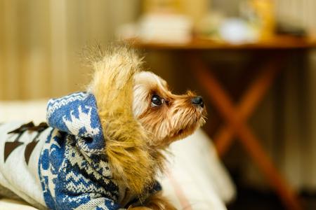 Yorkshire Terrier wearing Overcoat Stock Photo