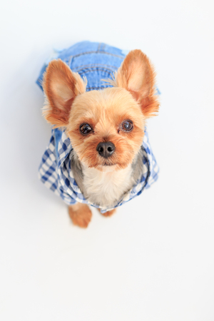 Yorkshire Terrier wearing checkered shirt