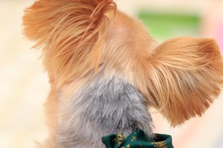 Portrait of Yorkshire Terrier Imagens