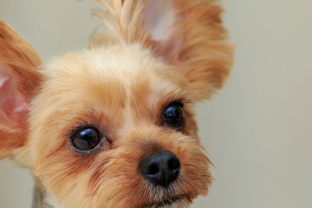 Portrait of Yorkshire Terrier 免版税图像