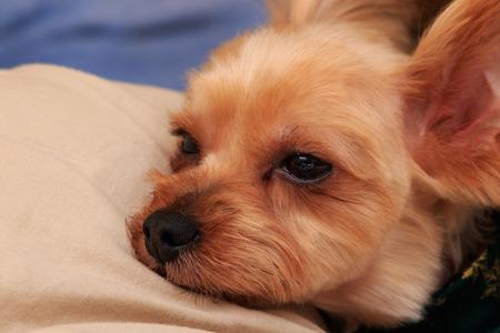 Portrait of Yorkshire Terrier Banco de Imagens
