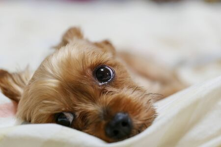 Yorkshire Terrier stares at the owner 写真素材