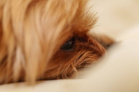 Yorkshire Terrier sleeping in bed