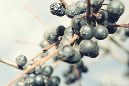 Berries on a branch, in the late autumn. Stock Photo - 18377032