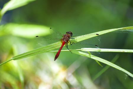 dropwing: Big Red dragonfly, basking in the sun, grabbing hold of a blade of grass