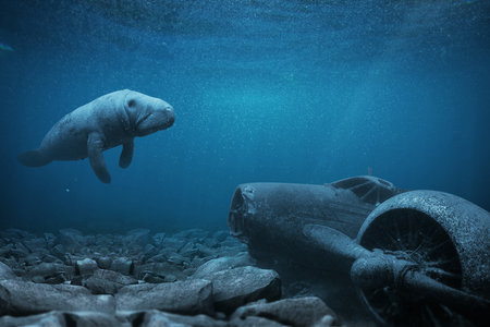 Manatee floats over a sunken airplane in the ocean