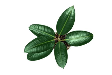 Árbol de ficus joven en maceta aislado en blanco (pipal). Vista superior Foto de archivo