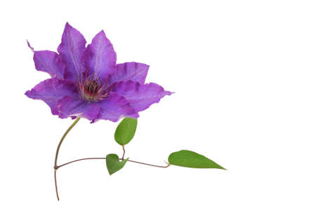 Clematis on a white background Banque d'images