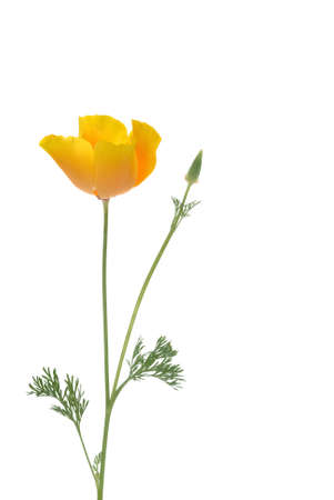 poppies against white background