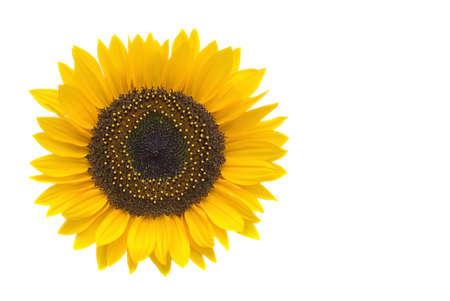 sunflower lies on white background