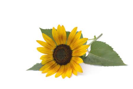 Sunflower lies on a white background