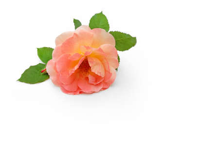 rose lies on white background