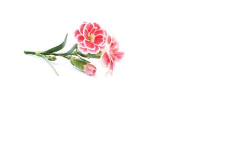 geraniums lie on white background