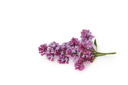 lilac branch lies on white background
