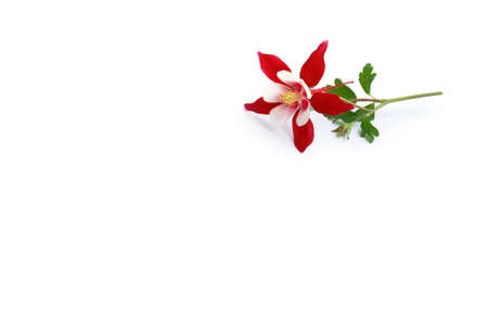 two-color columbine lying on white background
