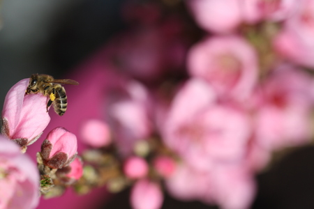 close up of pink blossom from a fruit tree with nectar collecting bee on the left side and blossom bukeh on background Stock Photo