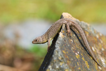 lizard is on a stone and peeks Stock Photo