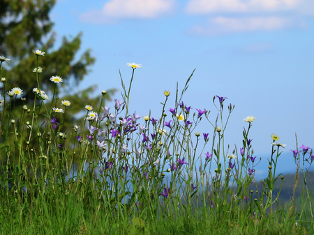 bluebells and daisies in a green meadow with blue sky on background