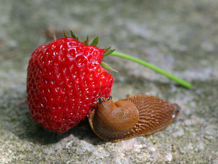 Slug eats fresh strawberry on stone background