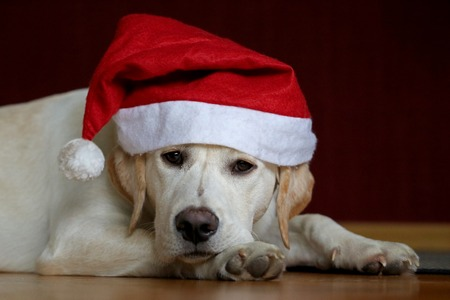 portrait of a labrador dog wearing santa claus hat
