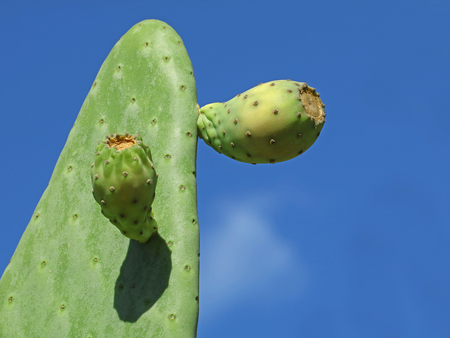Picky pear cactus with fruits against blue sky background with copy space Stock Photo