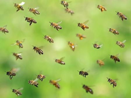 Makroaufnahme des fliegenden Bienenschwarms nach dem Sammeln von Pollen im Frühjahr auf grünem Bokeh