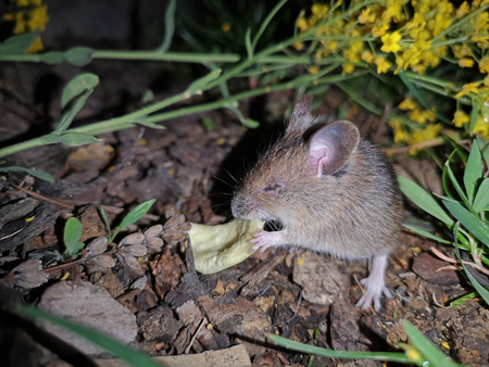 field vole mouse eats chips in the dark 版權商用圖片