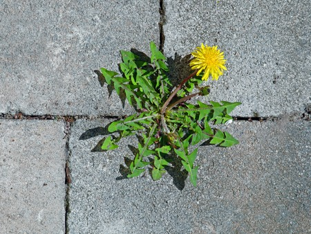 top view of yellow dandelion flower between grey paving stones 版權商用圖片