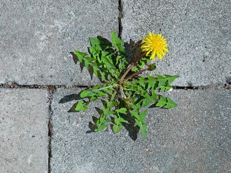 widok z góry żółtego kwiatu mniszka lekarskiego między szarymi kostkami brukowymi