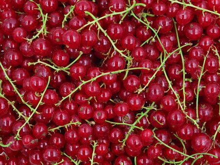 macro texture background of natural red currant berries