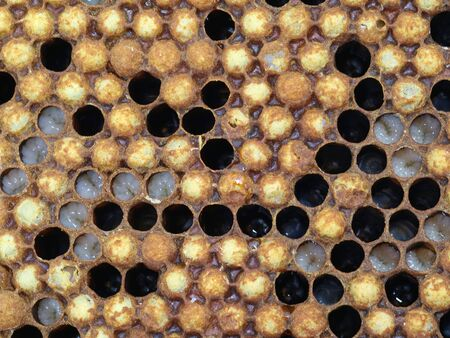 close up of bees drone larvae in a honeycomb