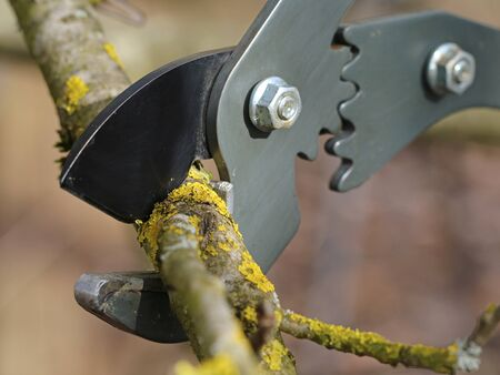 cutting old tree branches with anvil pruning shear, close up