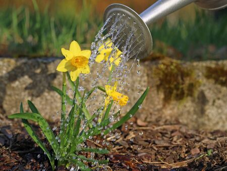 Yellow narcissus plant with water drops from watering can. watering first spring flowers Archivio Fotografico
