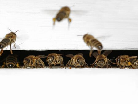 european honey bees exiting and entering their white beehive, macro shot of bees in a line with copy space