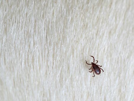 brown dog tick, Rhipicephalus Sanguineus on white fur, close up of a parasite with copy space