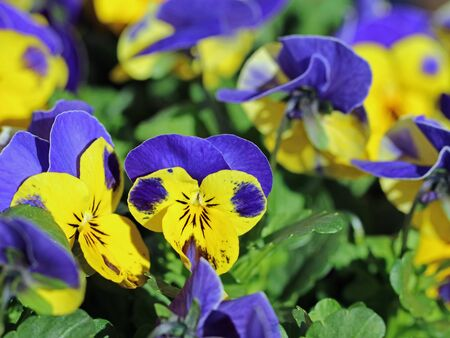 purple and yellow pansies blooming, close up, beautiful spring flower background