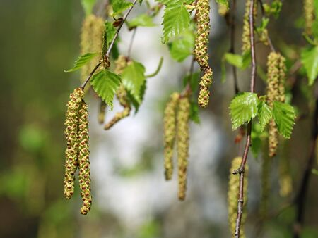 Birch catkins in front of a birch tree, close up, allergies to pollen in springtime background