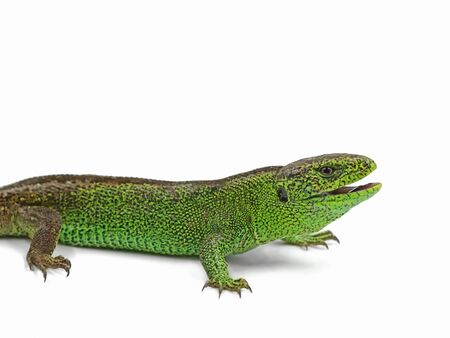 Male green sand lizard isolated on white