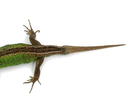new growed tail of green male sand lizard, Lacerta agilis, isolated on white background, top view Archivio Fotografico