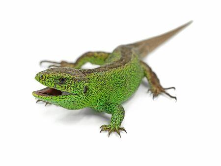 aggressive male green sand lizard, Lacerta agilis, ready to attack isolated on white background Archivio Fotografico